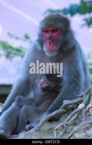 Japanese macaque (Macaca fuscata) mother and baby - Stock Photo