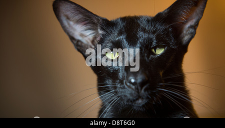 Black oriental shorthair cat with vivid green eyes. - Stock Photo
