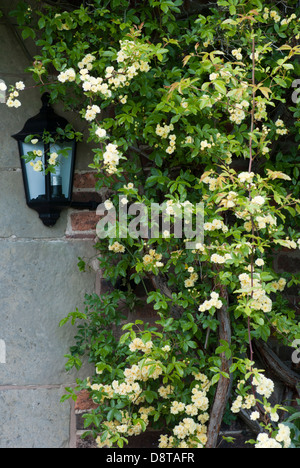 ROSA BANKSIAE LUTEA Stock Photo, Royalty Free Image: 138677508 - Alamy