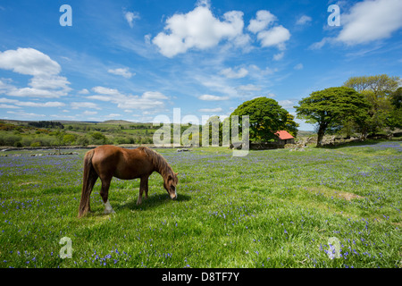 Pony grazing in a bluebell field at Emsworthy Dartmoor National Park Devon Uk - Stock Photo