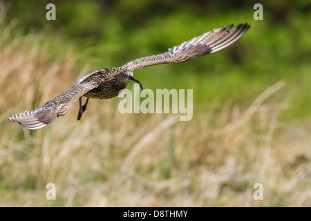 Curlew in flight landing, numenius arquata - Stock Photo