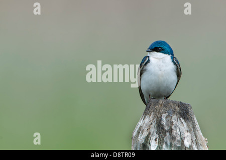 A perched male tree swallow (Tachycineta bicolor), Lee Metcalf National Wildlife Refuge, Montana - Stock Photo