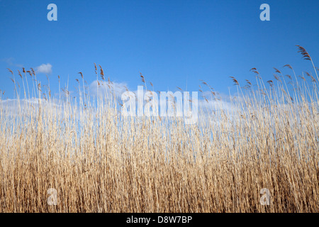 Reeds and rushes;  bullrushes against a blue sky, Hickling Broad, Norfolk Broads countryside, UK - Stock Photo