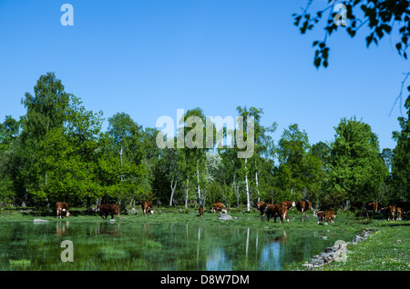 Grazing cattle at a pond nearby a forest of birches. From the island Oland in Sweden. - Stock Photo