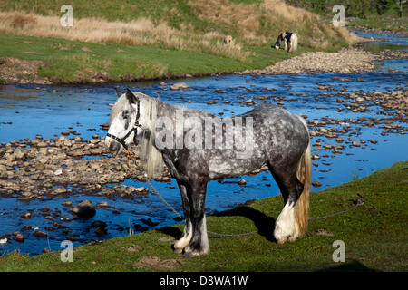 Kirkby Stephen, UK.   5th June, 2013. Tethered and chained Dapple Grey Cob at Watergate Bottom riverside where members - Stock Photo