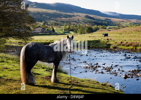 Kirkby Stephen, UK.   5th June, 2013. Early morning grazing for a Dapple Grey Cob horse, tethered and chained at - Stock Photo