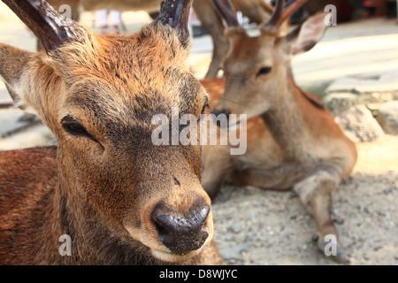 Sika Deer in Nara Park, Nara, Japan - Stock Photo