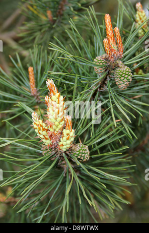 Aleppo Pine Cones Pinus halepensis - Stock Photo