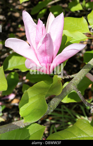 Pink Magnolia 'Susan' Flower - Stock Photo
