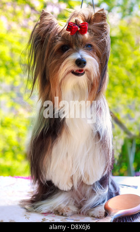 Biewer Yorkshire terrier red and black stands on his hind legs - Stock Photo
