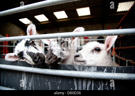 Cute looking lambs waiting to be fed - Stock Photo
