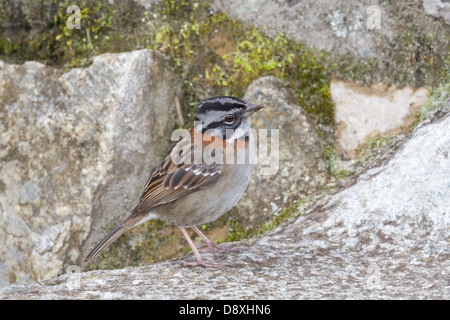 Rufous-collared Sparrow, Zonotrichia capensis, Peru - Stock Photo