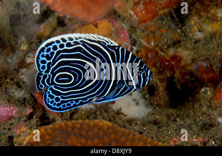 Juvenile emperor angelfish, Pomacanthus imperator, at Hot Rocks, Sangeang Island, Indonesia. Depth: 14.8 metres. - Stock Photo