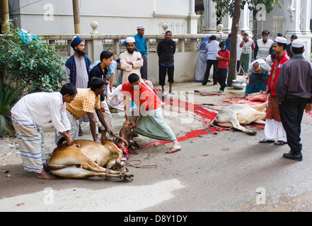 Gulshan Animals slaughtered in the street for the Muslim Eid-ul-Azha festival Asia Asian Bangladeshi Cows Female - Stock Photo