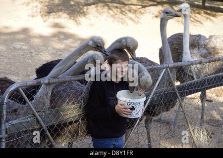 Tourists gets a chance to feed the ostriches at the Cango Ostrich farm near Oudshoorn - Stock Photo