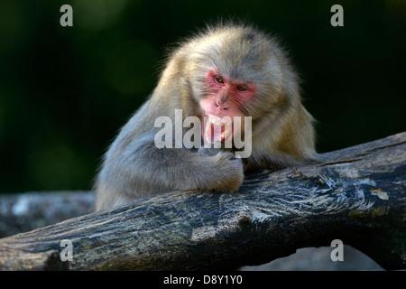 Japanese snowy monkeys (Macaca fuscata), enjoys the Lausen, comic, social behaviour, occurence Japan, captive, Baden - Stock Photo