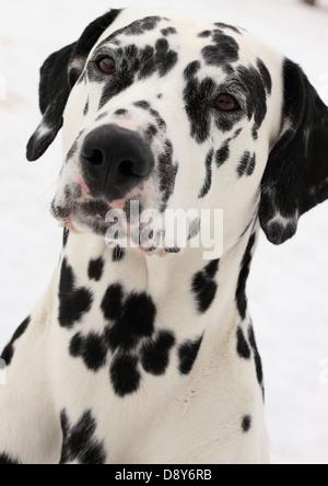 Portrait of dalmatian dog breed - Stock Photo