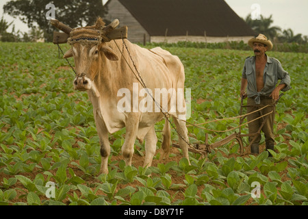 Pinar del Rio Province Cuba.  Tobacco leaves from here are used to make Cohiba Robaina Hoyo de Monterey and Trinidad - Stock Photo