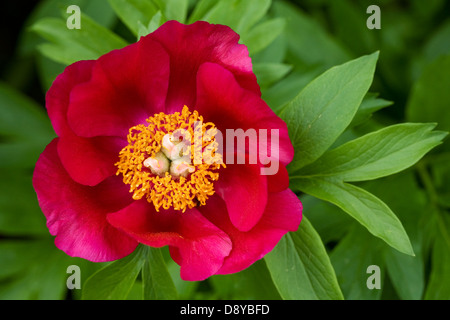Paeonia officinalis flower. - Stock Photo