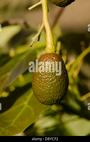 Young unripe Hass avocado, Persea americana 'Hass',  fruit growing on tree. Andalusia, Spain. - Stock Photo