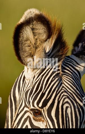 Close-up of Grevy's Zebra ear.Endangered species.