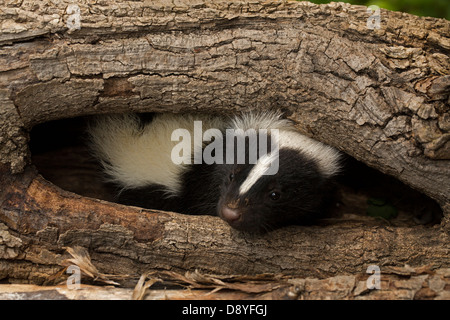 Striped skunk (Mephitis mephitis) , New York, young - Stock Photo