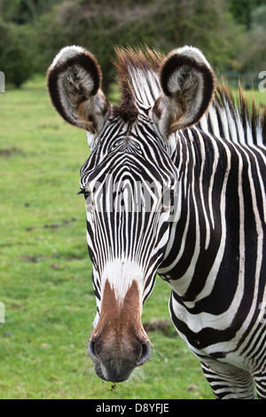 A captive Grevy's Zebra (Equus grevyi) at Port Lympne Wild Animal Park - Stock Photo