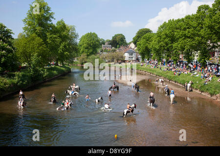 Appleby-in-Westmorland, U.K. 6th June 2013. Swimming the horses in the River Eden at the historic horse fair. Starting - Stock Photo