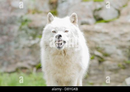 Aggressive Arctic wolf-male portrait - Stock Photo