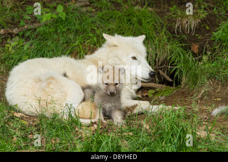 Female arctic wolf with one month pup - Stock Photo