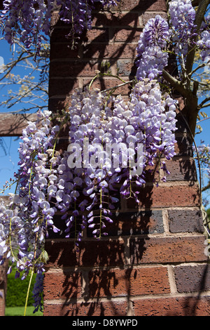 A beautiful display of Wisteria on a pergola in Tamworth Castle Grounds. - Stock Photo