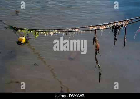 seaweed on rope Paignton Harbour,ocean, blue, water, deep,  boat, fishing, sea, ship, trawler, small, ocean, blue, - Stock Photo
