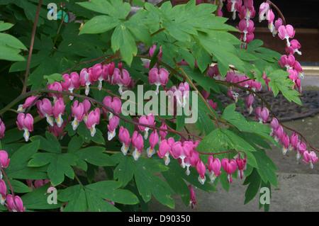 Rows of pink Bleeding Hearts on a bush - Stock Photo