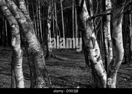Silver birch woodland forest in black and white - Stock Photo