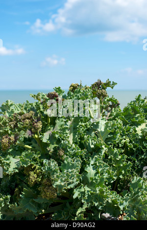 Crambe Maritima Sea Kale Coastal Cabbage salt tolerant plant growing on a shingle beach at Pevensey East Sussex - Stock Photo