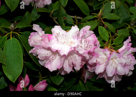 Rhododendron 'Mrs Charles E Pearson' in flower in May - Stock Photo