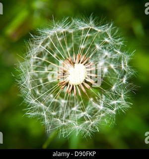 A beautiful macro shot of a dandelion in the summer sun - Stock Photo