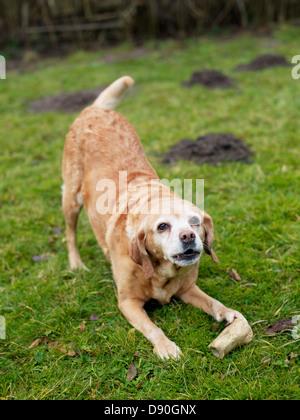 Labrador stretching on grass - Stock Photo