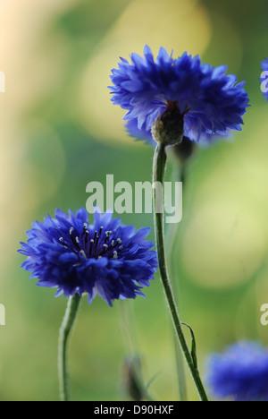 Summer Blue Cornflowers - Stock Photo