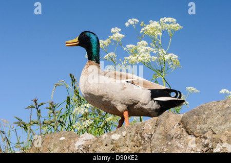 Male mallard duck on a wall - Stock Photo