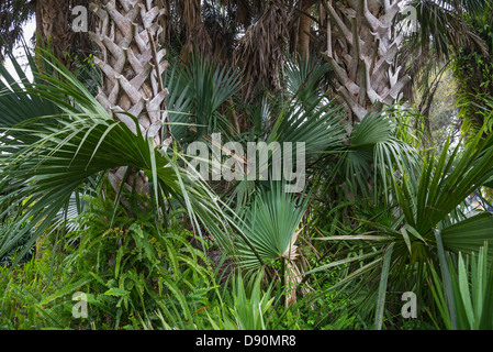 Spring ferns adorn the trunk boots of a sabal palm tree in a Florida garden. - Stock Photo