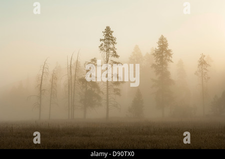 Trees emerge from early-morning mists near Madison Junction in western Yellowstone National Park. - Stock Photo
