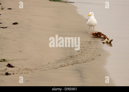 Dead fish along the shore stock photo royalty free image a western gull standing over a dead fish it has been dragging along the shore of publicscrutiny Image collections