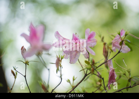 Spring azaleas at Kanapaha Botanical Gardens located in Gainesville Florida. - Stock Photo