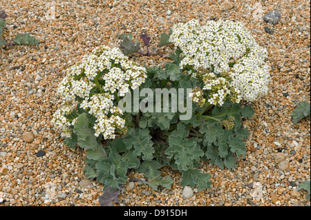 Sea kale, Crambe maritima, flowering on shingle at Chesil beach in Dorset - Stock Photo