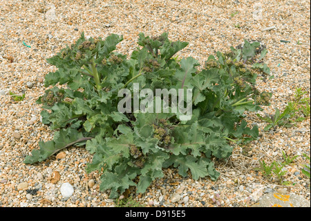 Sea kale, Crambe maritima, on shingle at Chesil beach in Dorset - Stock Photo