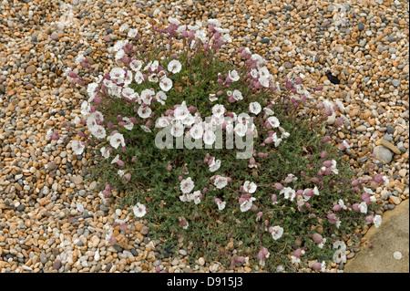 A flowering clump of sea campion, Silene maritima, on shingle and Chesil Beach in Dorset - Stock Photo
