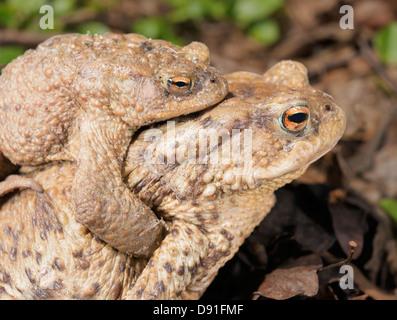 Two Common Toads (Bufo bufo) - Stock Photo
