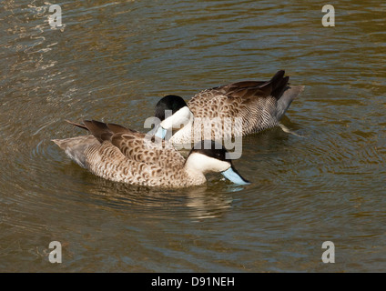 A pair of Puna Teals, Anas puna dabbling in a pond - Stock Photo