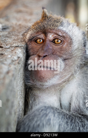 Portrait of a sad monkey - crab-eating macaque - Stock Photo